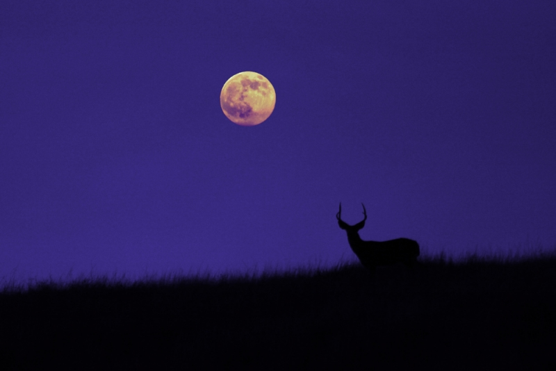 Full Moon Deer