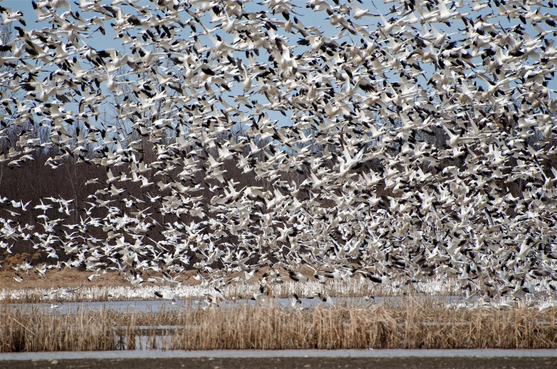 Spring Snow Geese Migration