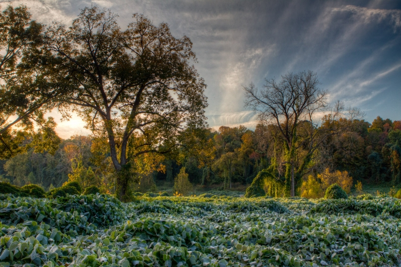 Field Of Kudzu