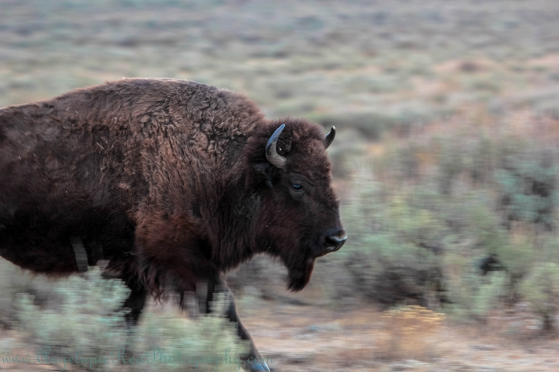 Bison On The Run