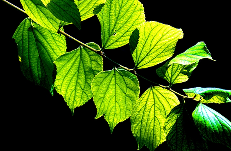 Black Lite Leaves