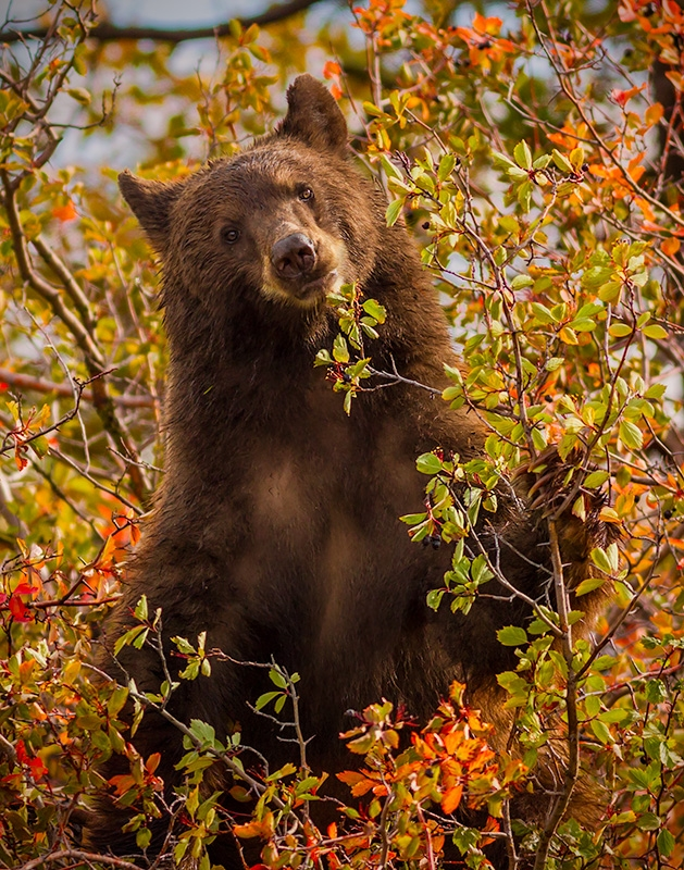 Bear In A Bush