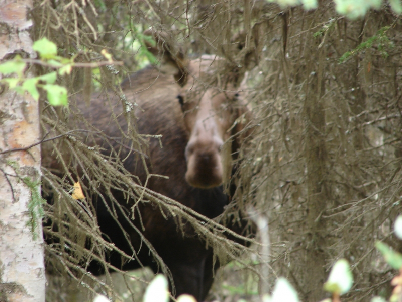 Wary Moose