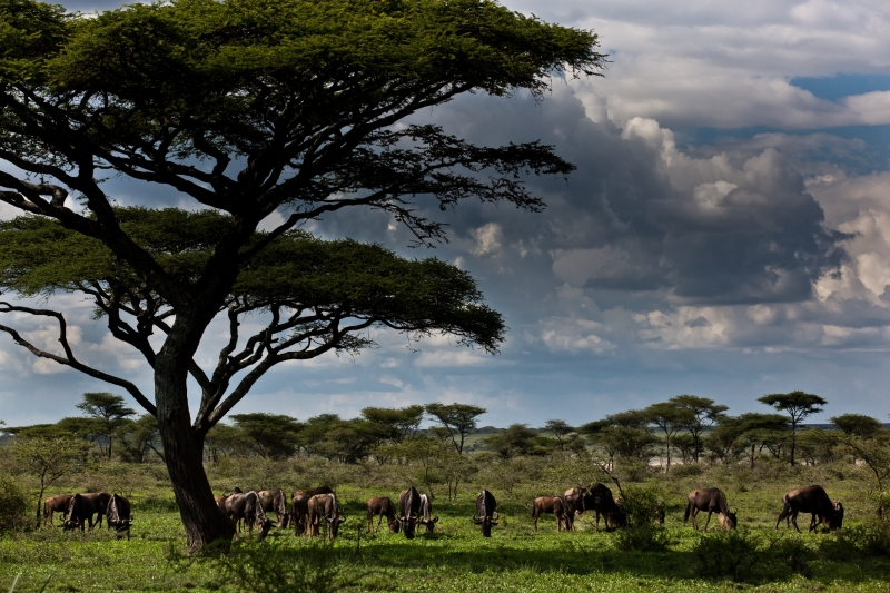Grazing In Southern Serengeti