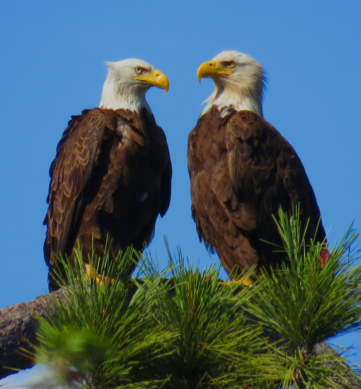 San Diego County Bald Eagle Pair