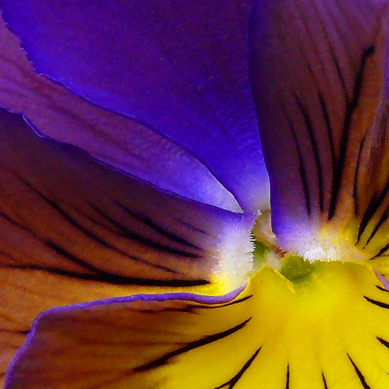 Colorado Pansy