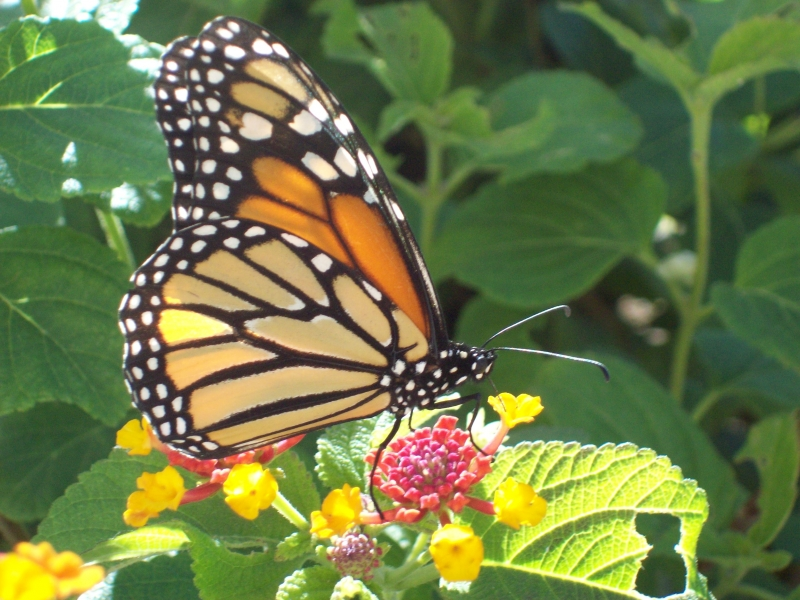 Las Vegas Monarch