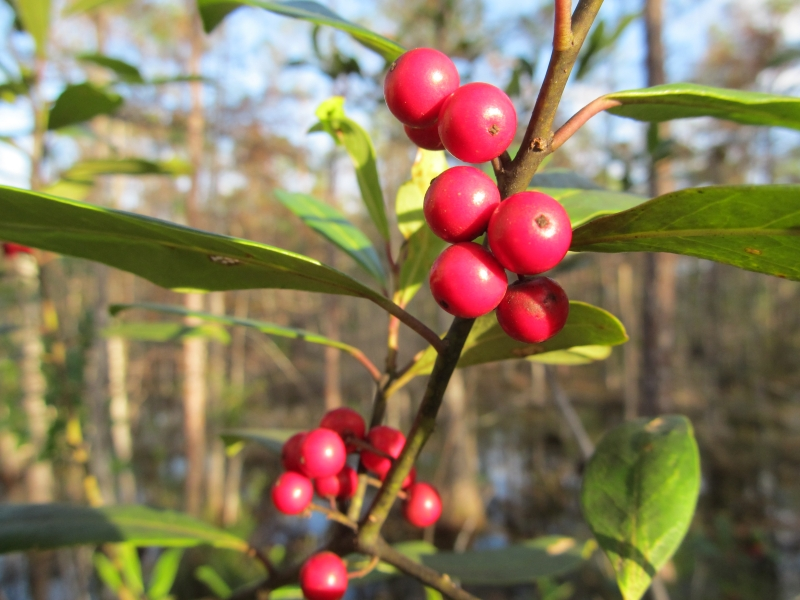 Dahoon Holly Berries2