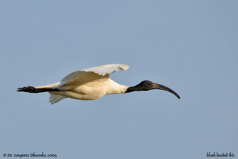 The Black Headed Ibis