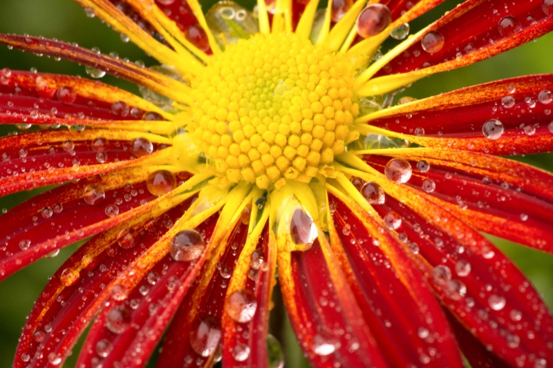 Red Flower After Rain