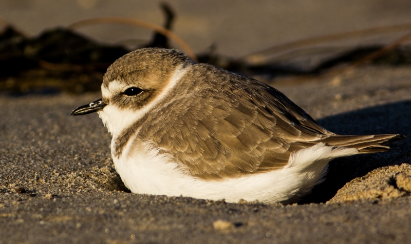 Plover At Sunset