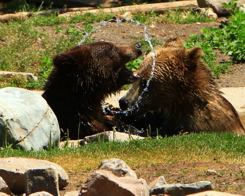 Yearling Bears At Play
