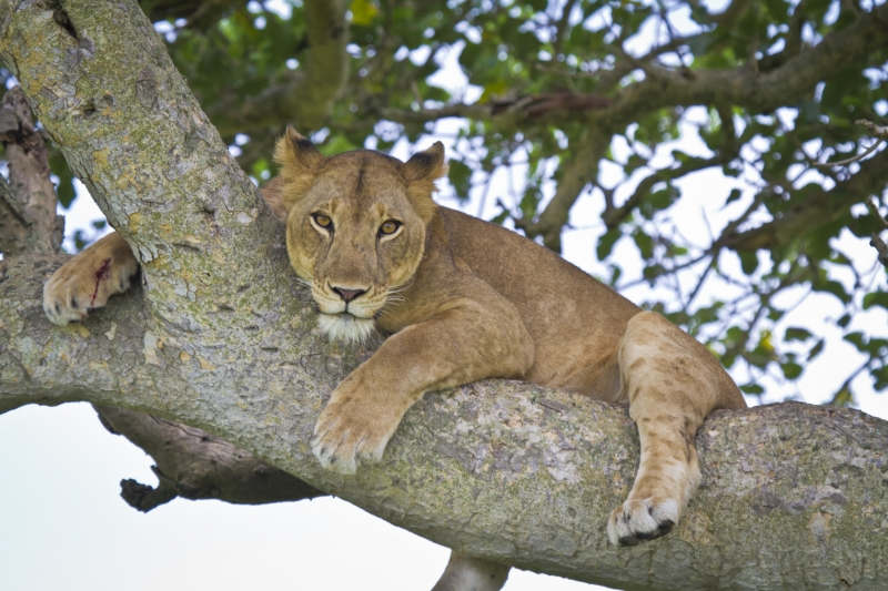 Tree-climbing Lion With Wounded Foot