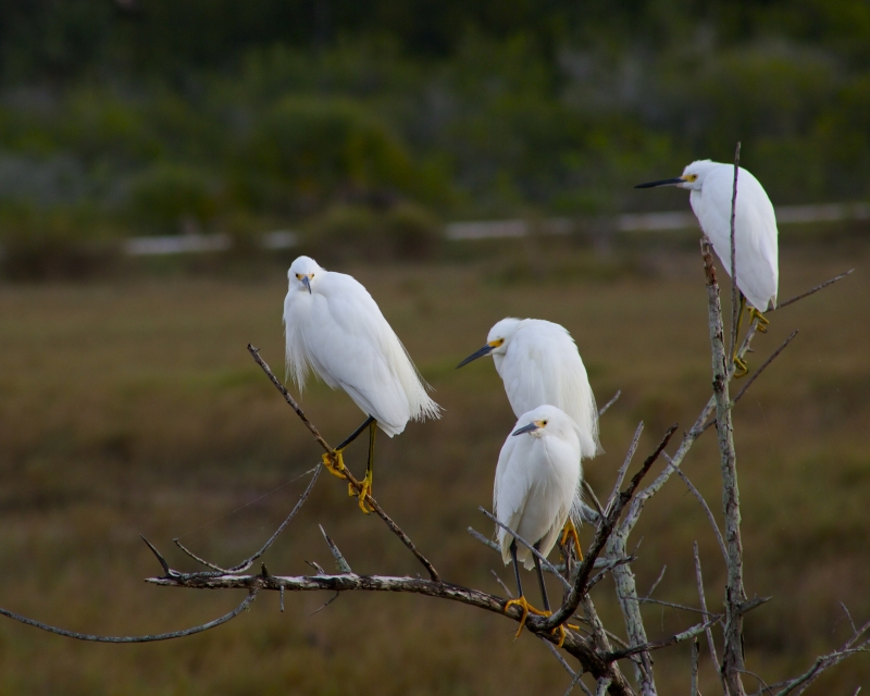 Snowy Egret Meeting