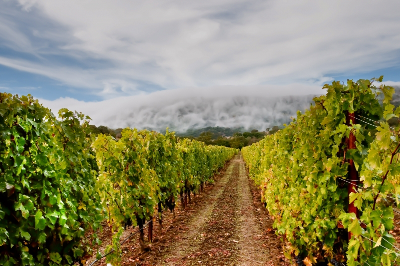 Fog Waves Over Vineyard