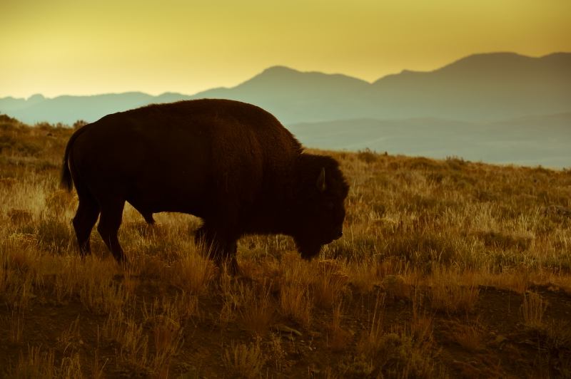 Yesteryear Bison