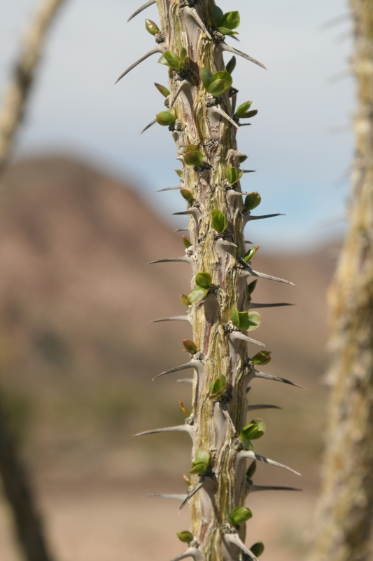 Ocotillo In Bud