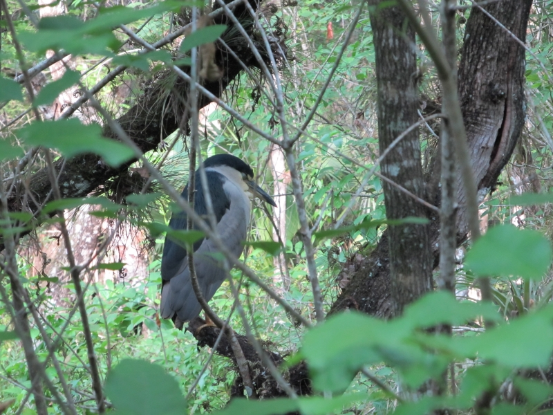 Night Heron In A Florida Park2