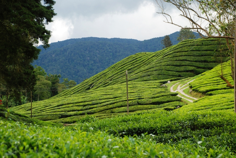 Tea Farm At Cameron Highlands