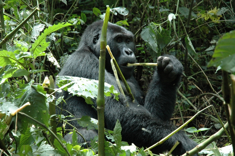 Female Mountain Gorilla Eating