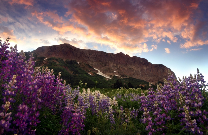Gothis Mountain Lupines