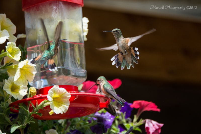 Humming Bird Fights