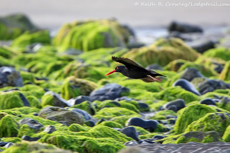 Cannon Beach Oystercatcher