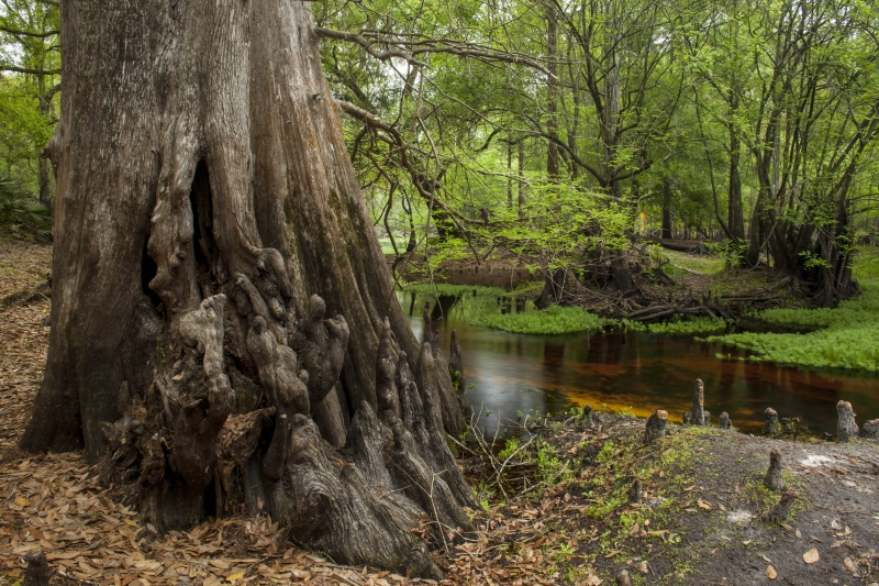 Old Growth Cypress Along Withlacoochee River