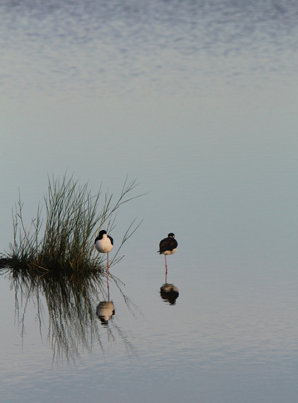 Black-necked Stilts Napping