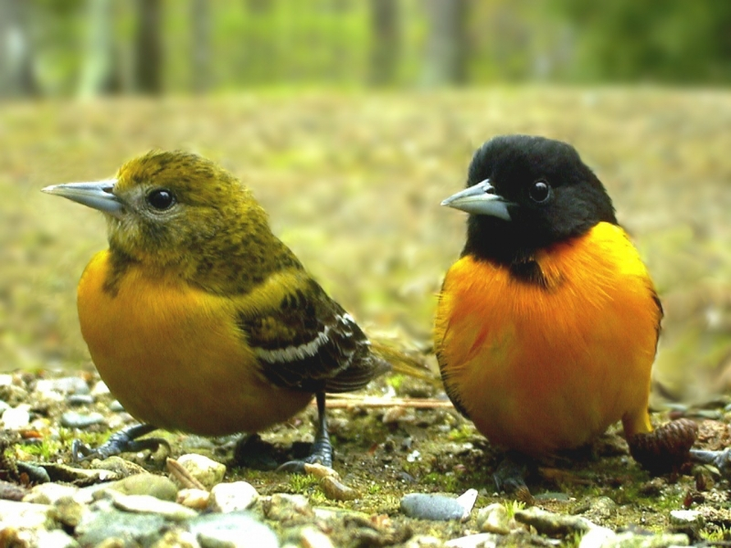 Mr. & Mrs. Oriole