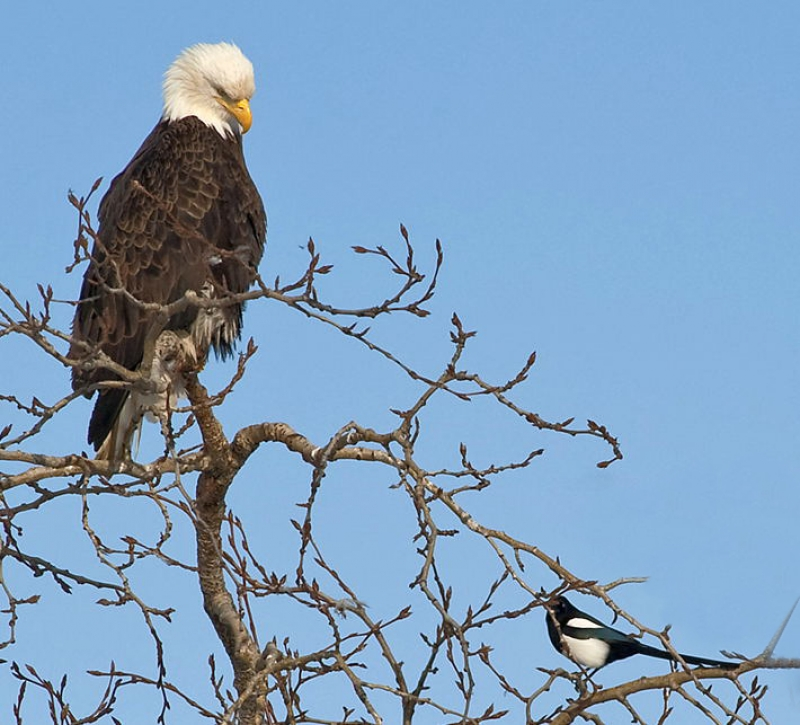 Eagle And Magpie