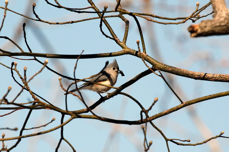 Tufted Titmouse – Lone Elk Park