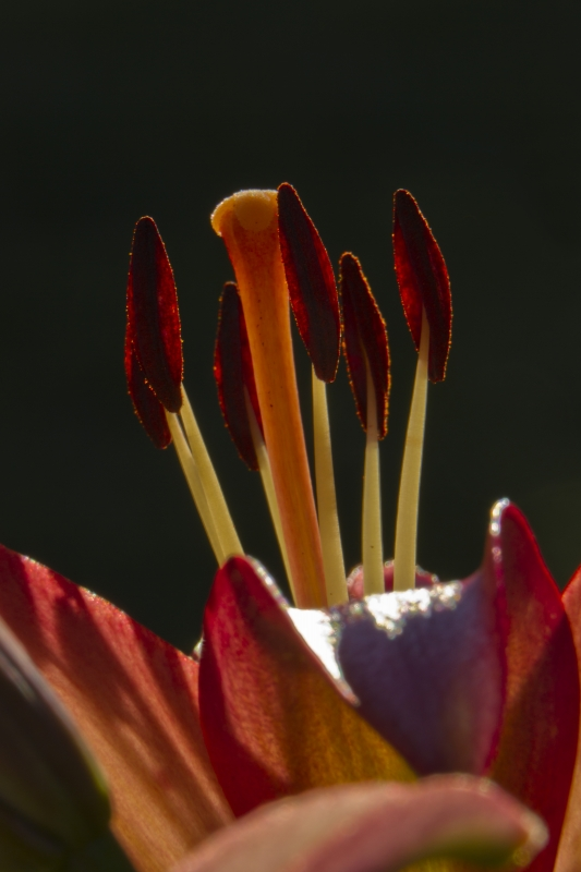 Pistil And Stamens With Back Light