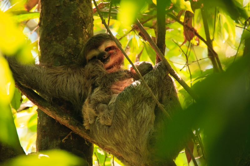 Three-toed Sloth, And Baby