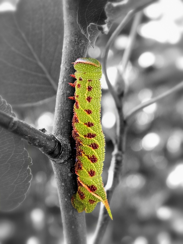 Blinded Sphinx Caterpillar