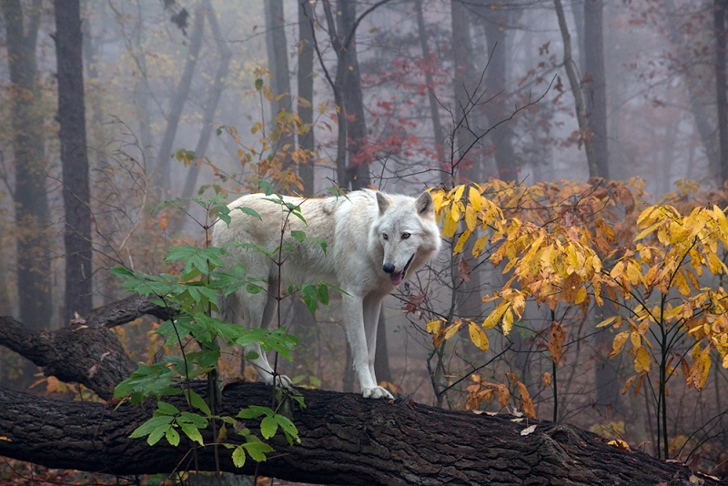 Wolf In Autumn Mist