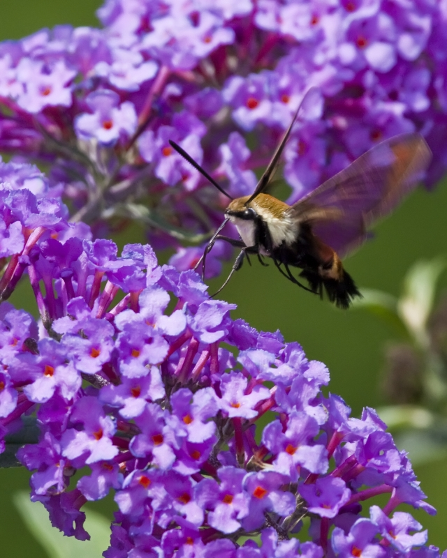 Snowberry Clearwing Moth Nectaring On A Butterfly Bush