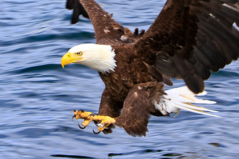 Bald Eagle Attack Run – Talons Locked And Loaded