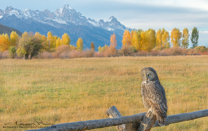 Perch With A View | Great Gray Owl