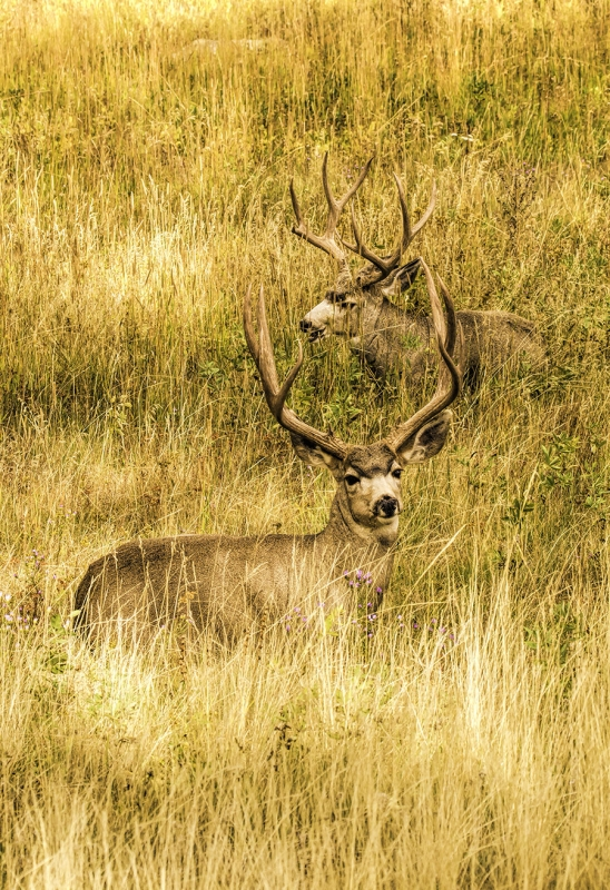 Mule Deer In Autumn Meadow