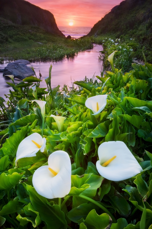 Calla Lilies In Spring