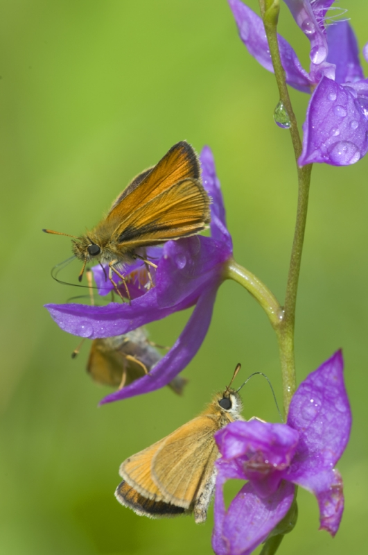 Skippers On Orchid