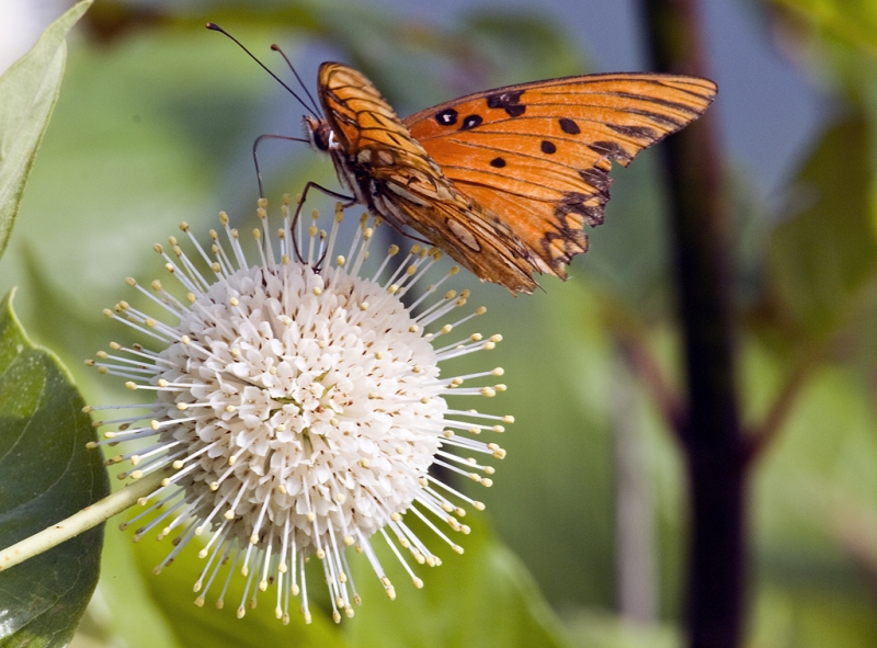 Common Buttonbush And Freinds
