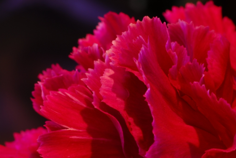 The Lowly Carnation