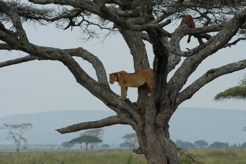 Lions In Trees (serengeti)