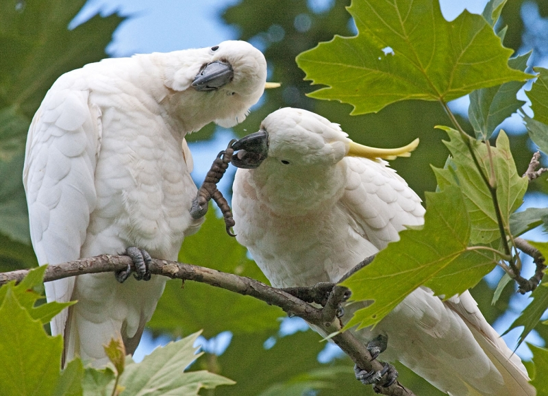 Suphur Crested Cockatoos