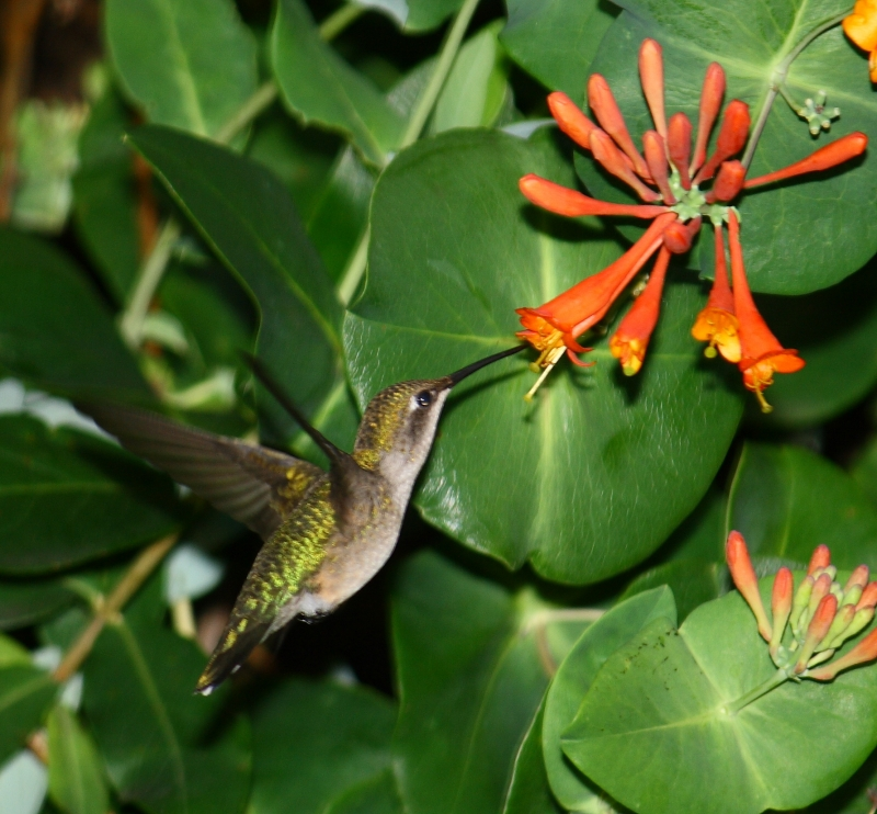 Hummingbird Captured In Flight