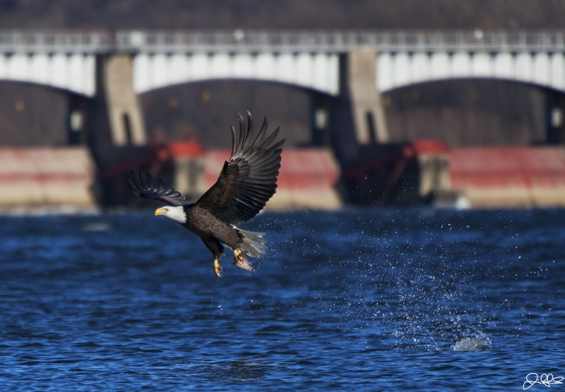 Eagle Fishing In The Mississippi