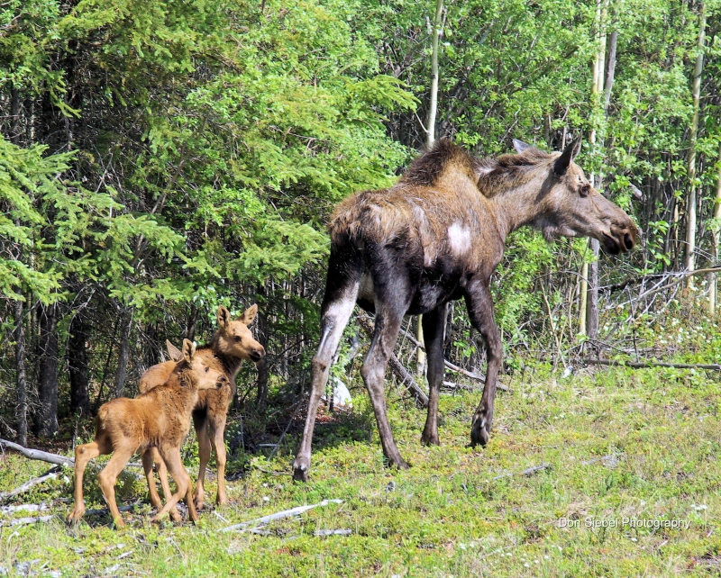 Moose Mom Of Twins