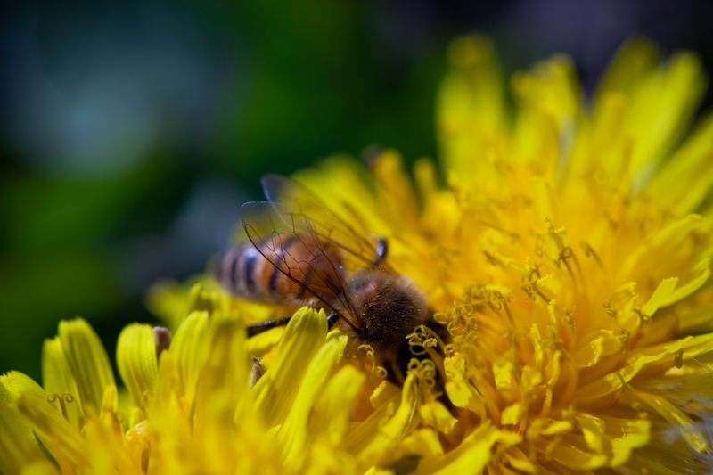 Bee Amoungst The Dandelions